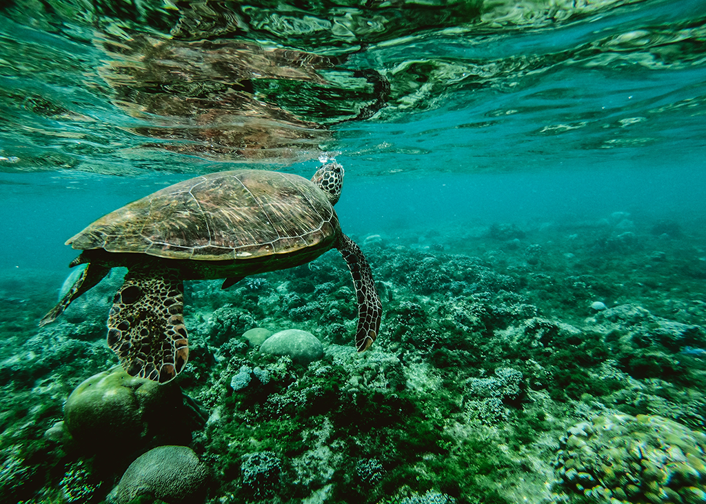 Timeshare Sea Turtle